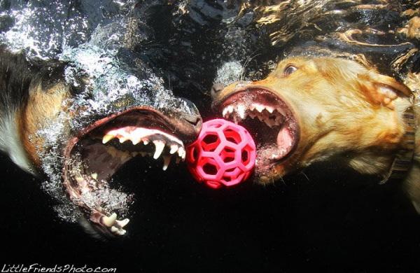 chien-piscine-3
