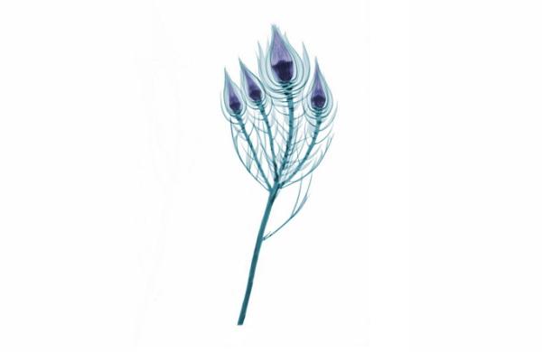 Des Fleurs passées aux rayons X