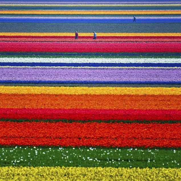 champs de tulipes pays bas