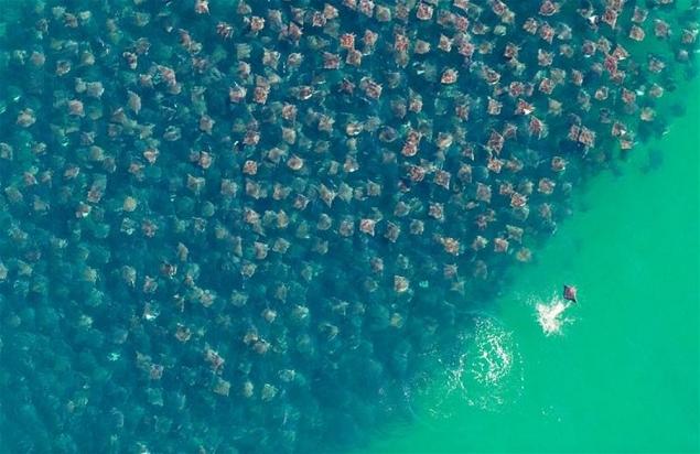 migration des raies dorées au large du Mexique