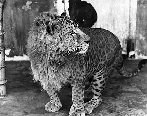 Leopon-félin-hybride-lipard-liard-