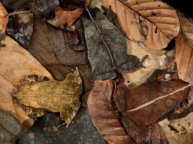 camouflage-mimetisme-crapauds
