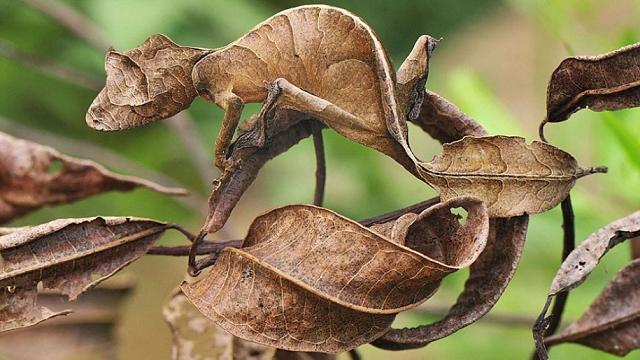camouflage-mimetisme-Gecko-3