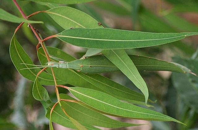 camouflage-mimetisme-Tropidoderus-Childrenii-