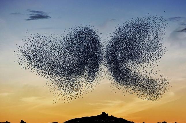 Murmuration-oiseaux-migration-4