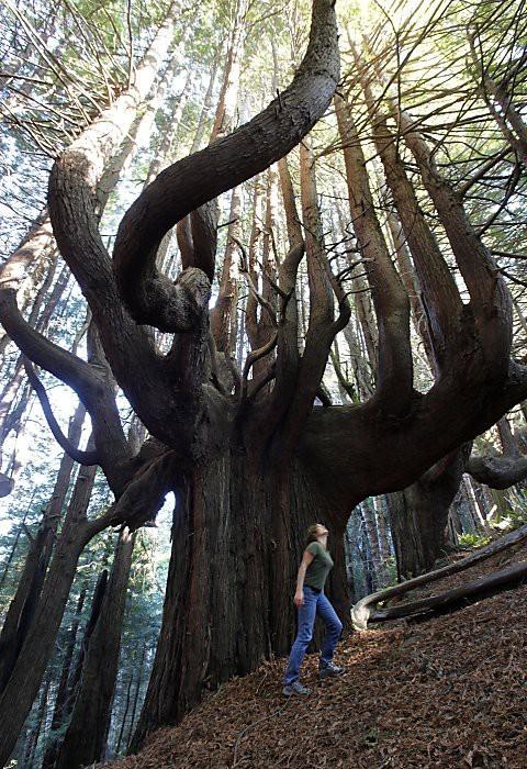 Séquoia candélabres de 500 ans