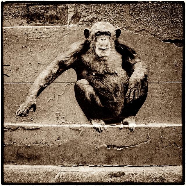 Chimpanze rue Pierre au Lard sophie photographe