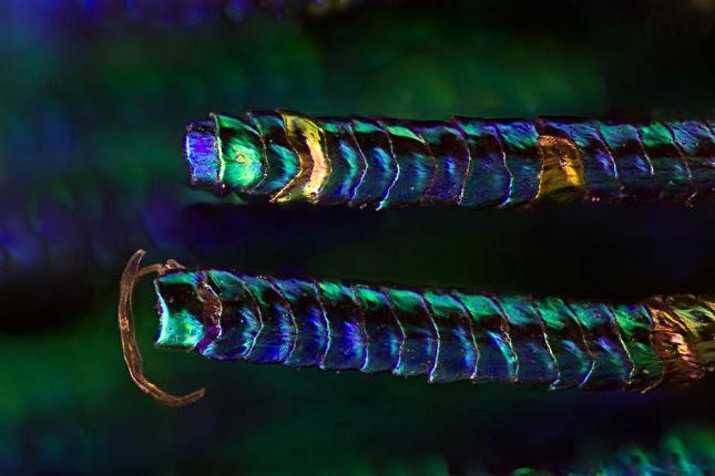 plumes-oiseau-Zoom-Microscope-2