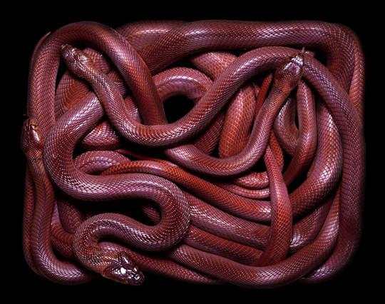 Guido Mocafico  wikilinks serpents