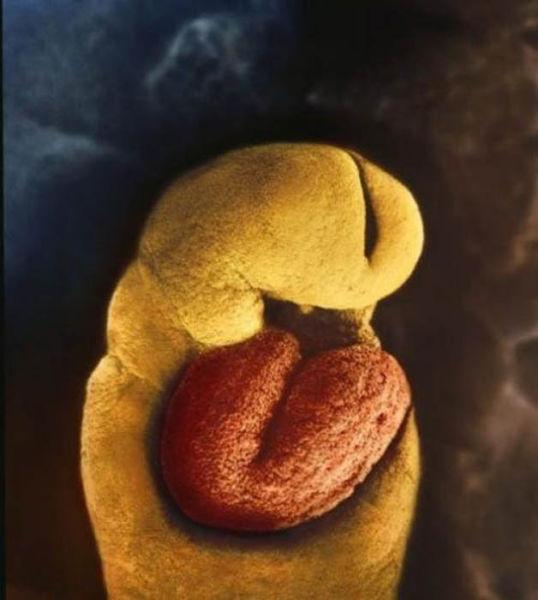 embryon d'un mois, il n'a pas encore de squelette. Il ya seulement un cœur qui se met à battre le 18e jour.