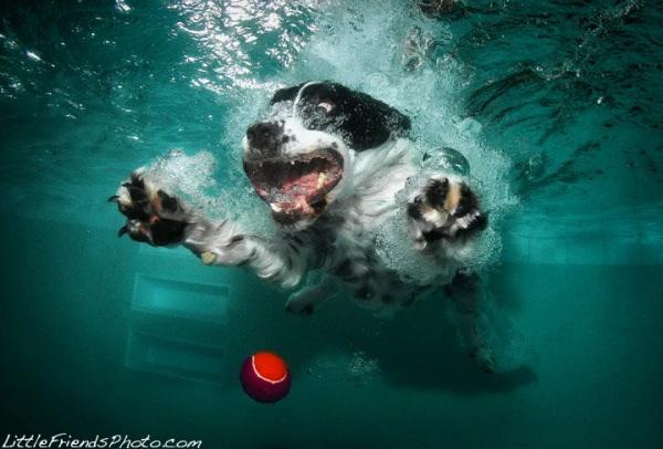 chien-piscine-11