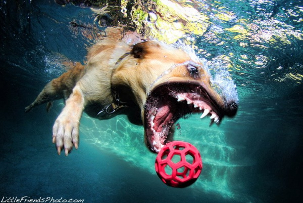 chien-piscine-1