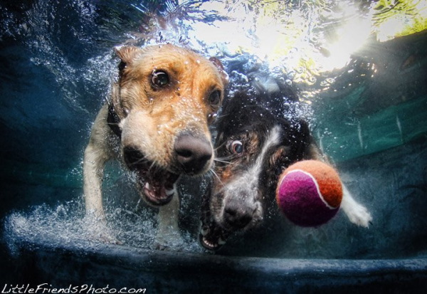 chien-piscine-2