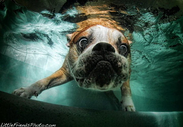 chien-piscine-8
