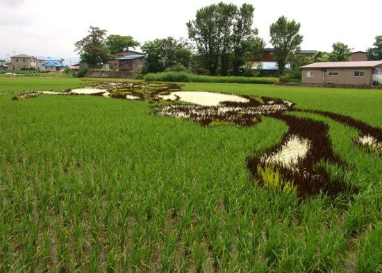Land-Art dans des rizières au Japon