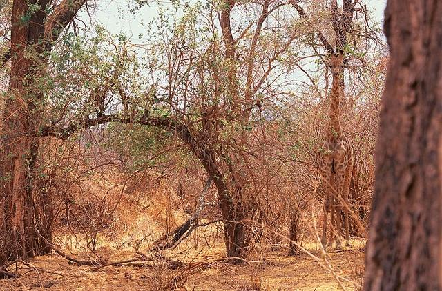 camouflage-mimetisme-Giraffe