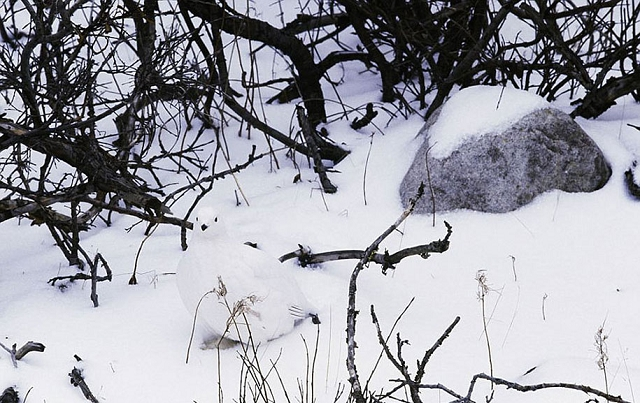 camouflage-mimetisme-Lagopede-des-saules-