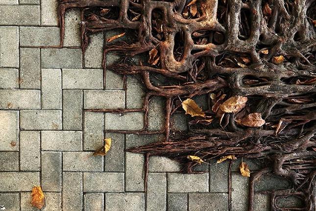Les racines des arbres suivent le motif des pavés 2
