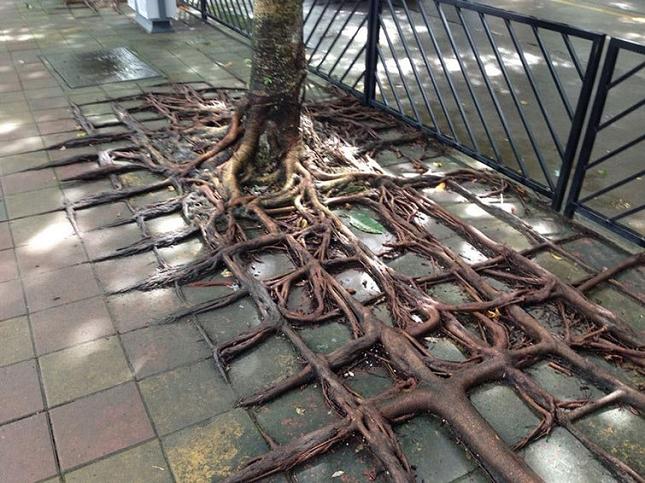 Les racines des arbres suivent le motif des pavés 3