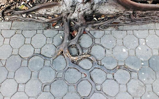 Les racines des arbres suivent le motif des pavés 4