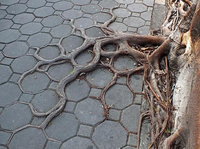 Les racines des arbres suivent le motif des pavés 5