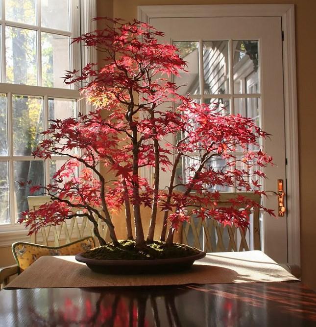 bonsai d'érable à l'automne