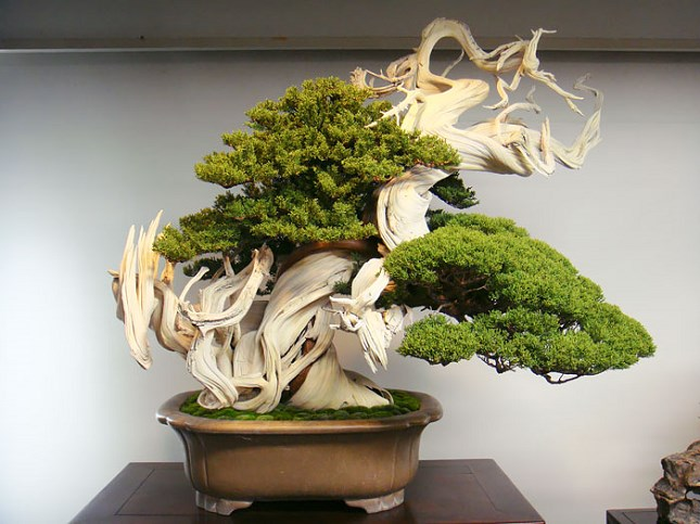 Un Bonsai de 800 ans