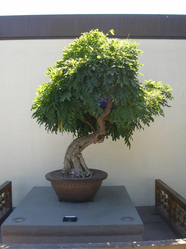 bonsai glycine