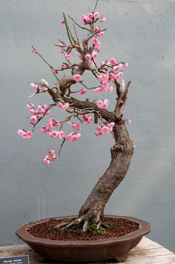 Bonsai cerisier