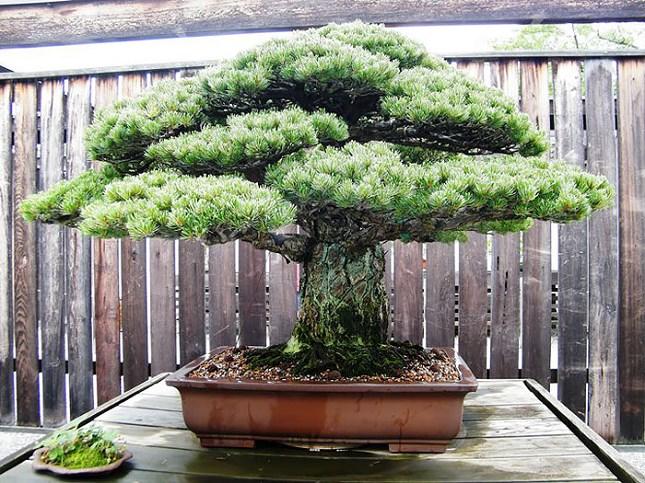 Bonsai de 388 ans