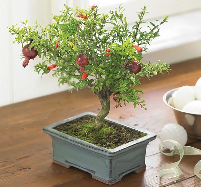 Bonsai grenadier