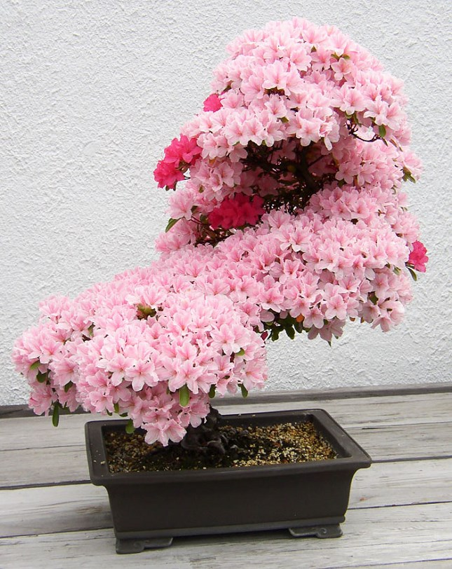 Bonsai azalé