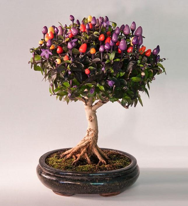 Bonsai arbre à piment